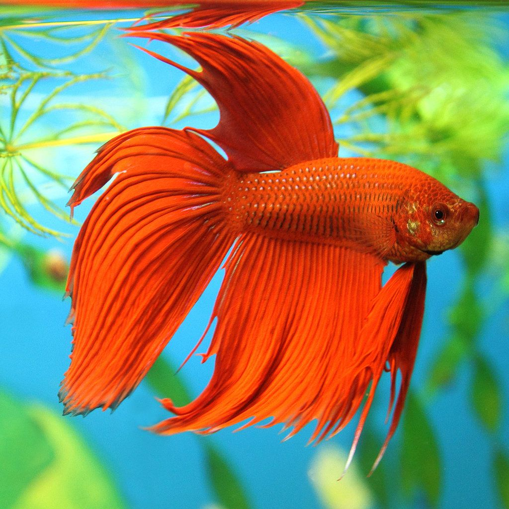 15+ List Different Types of Betta Fish with Pictures | Siamese ...