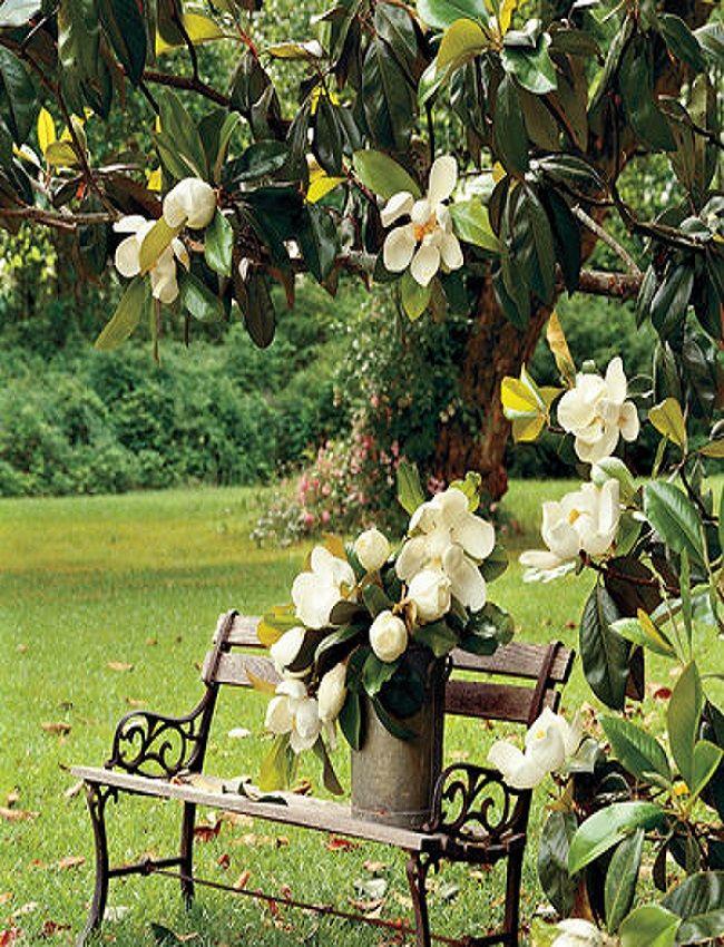 Southern White Magnolia Tree Southern Magnolia Tree Magnolia Trees Beautiful Flowers Garden