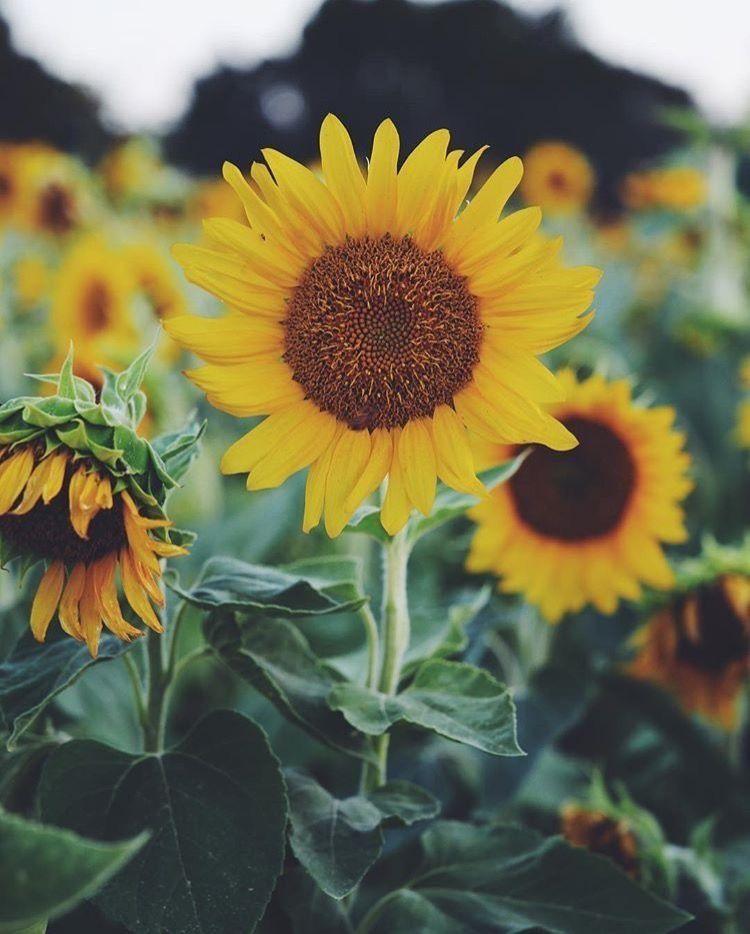 ThoseLovelyThings in 2020 | Sunflower wallpaper, Sunflower ...