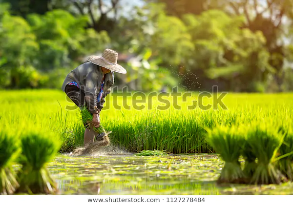 Paddy Rice Rice Hedao Png Transparent Clipart Image And Psd File For Free Download How To Draw Hands Cambodian Art Prints For Sale