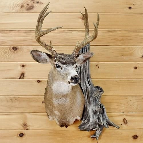 Sitka Blacktail Deer Taxidermy Mount - SW2689 | Deer Mounts