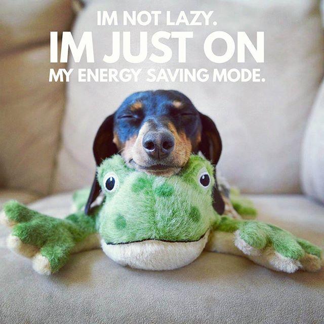 Lovely Dachshund Puppy Sleepy Funny Dachshund Dachshund Quotes