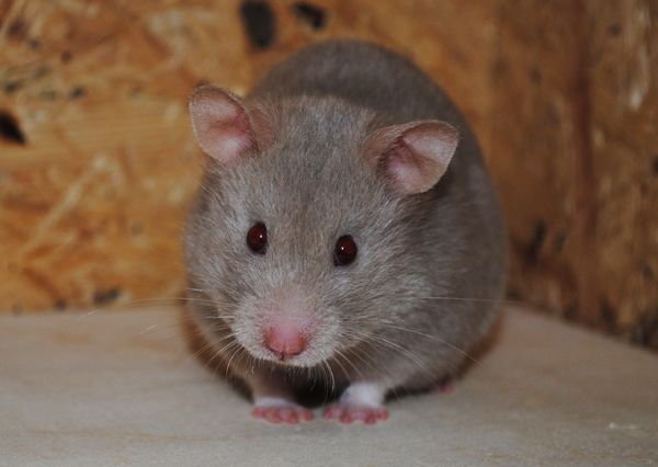 Silver Dove sh hamster (aappSgsg L_) Syrian hamster