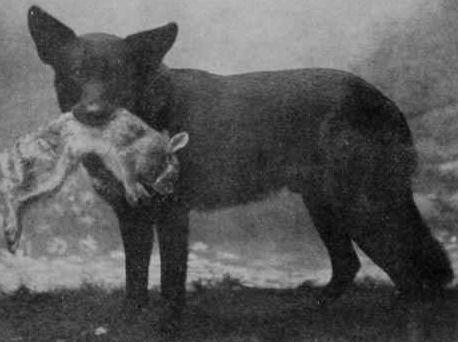 The True Newfoundland Dog Natural History Native American