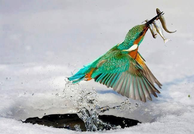 Eisvogel auf Futtersuche