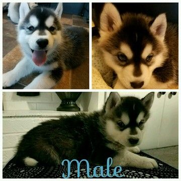 Litter Of 8 Siberian Husky Puppies For Sale In Ottawa Oh Adn