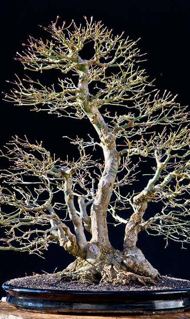 https//outrace.cz/ Bonsai tree, Indoor bonsai, Maple bonsai
