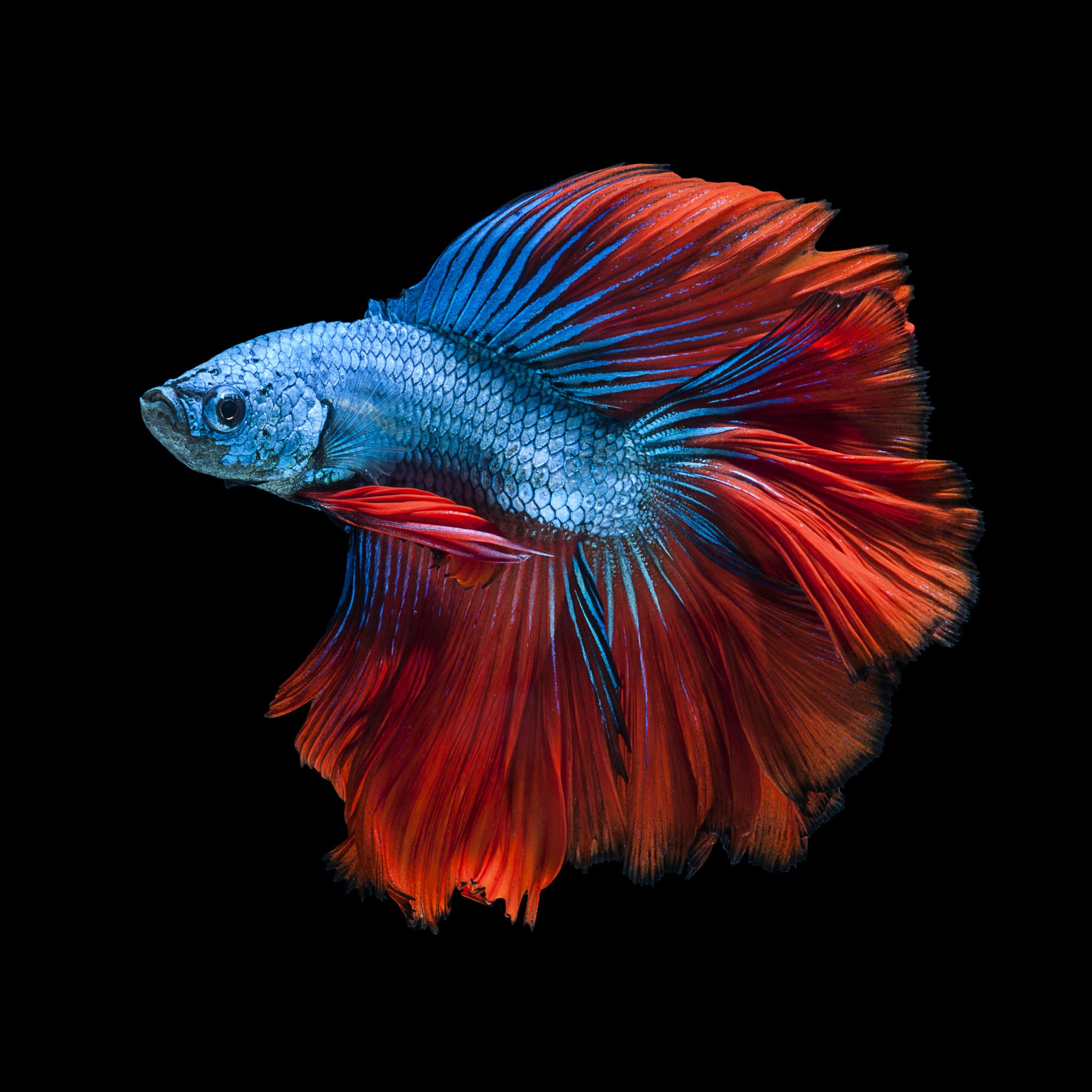Capture the moving moment of red blue siamese fighting for Betta fish colors