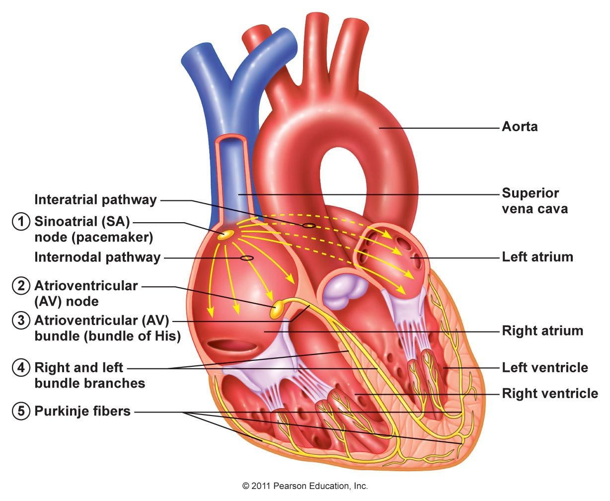 Electrical activity of the heart md pinterest electrical activity of the heart ccuart Images