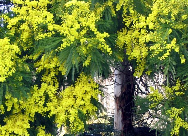 The Acacia Tree In Bloom