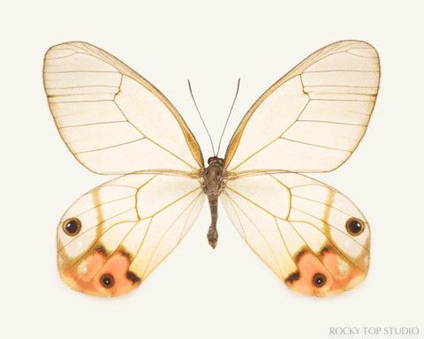 Orange Glasswing Butterfly Print by Allison Trentelman | rockytopstudio.com