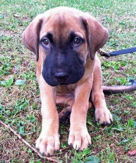 via the daily puppy Puppy Breed: German Shepherd Dog ...  German Mastiff Breeds