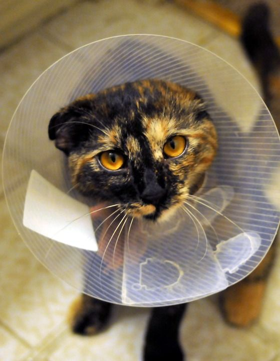 Pet_Health Care Putting an Elizabethan collar on your