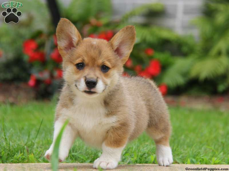 Welsh Corgi Mix Puppies For Sale Corgi Mix Puppies Corgi