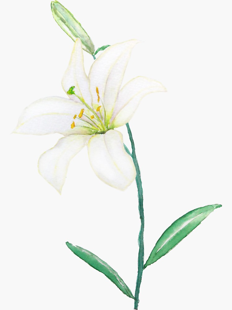White Lily Watercolor Sticker By Colorandcolor Redbubble White Lily Flower Lilies Drawing Simple Watercolor Flowers