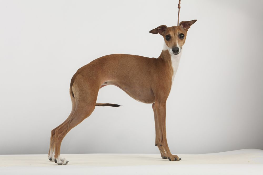 Sienna A 4 Year Old Italian Greyhound At The Westminster Dog Show Photo Fred R Conrad The New York Times Westminster Dog Show Dog Show Grey Hound Dog