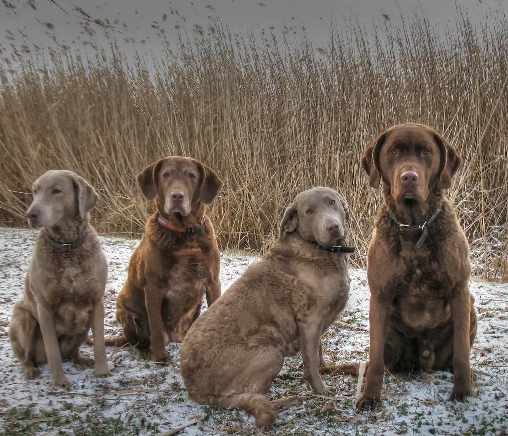 Pin by Millie Life With A Dog🐶🐶🐶🐶 on Pets Labrador