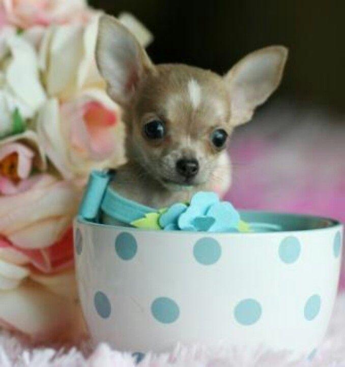 Tea Cup Cutie Elegant Teacup Chihuahua Puppies