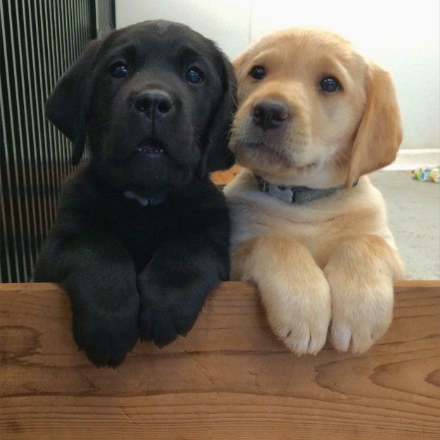 This Adorable Pair Of Besties Cute Labrador Puppies Lab