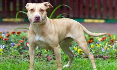What A Beautiful Pitbull Dogs Dogs In The City Pitbulls