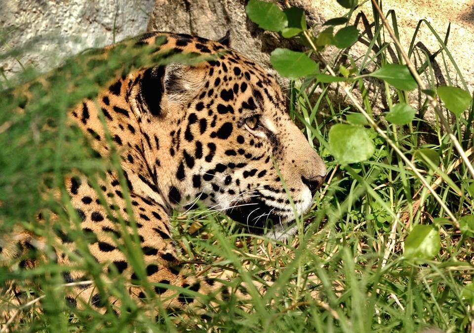 Jaguar At The Los Angeles Zoo Botanical Gardens Los Angeles Zoo Zoo Big Cats
