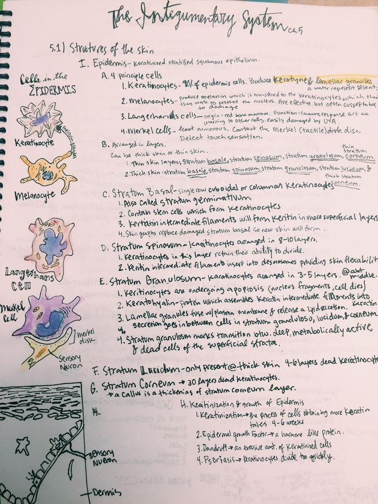 Integumentary System notes and Epidermis cells | Human Body | Pinterest