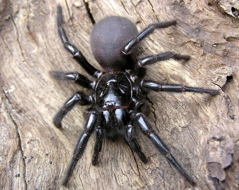 The Sydney funnelweb spider (Atrax robustus) is the most