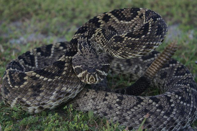 Eastern diamondback rattlesnake - beautiful but very poisonous.  Found a 4 ft. dead one in front of house in Hyde Co.  Road fatality.