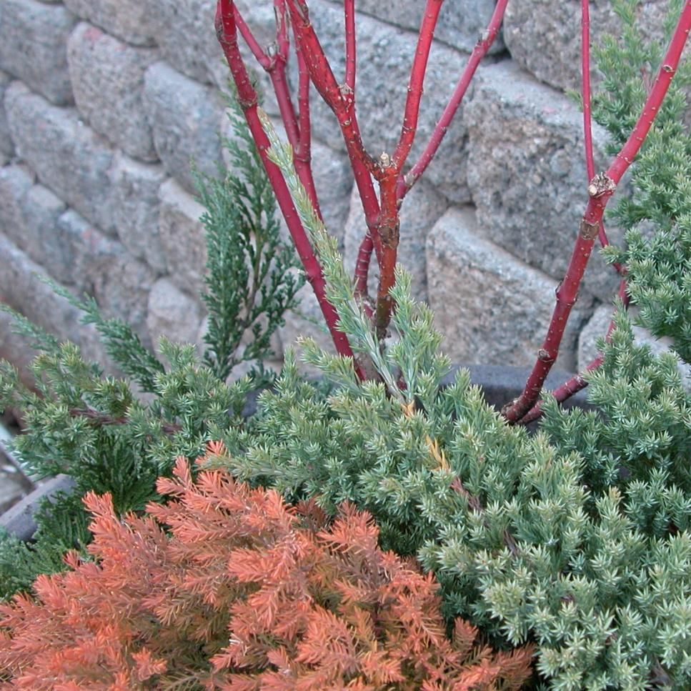 container gardens for chilly weather shrub weather and gardens