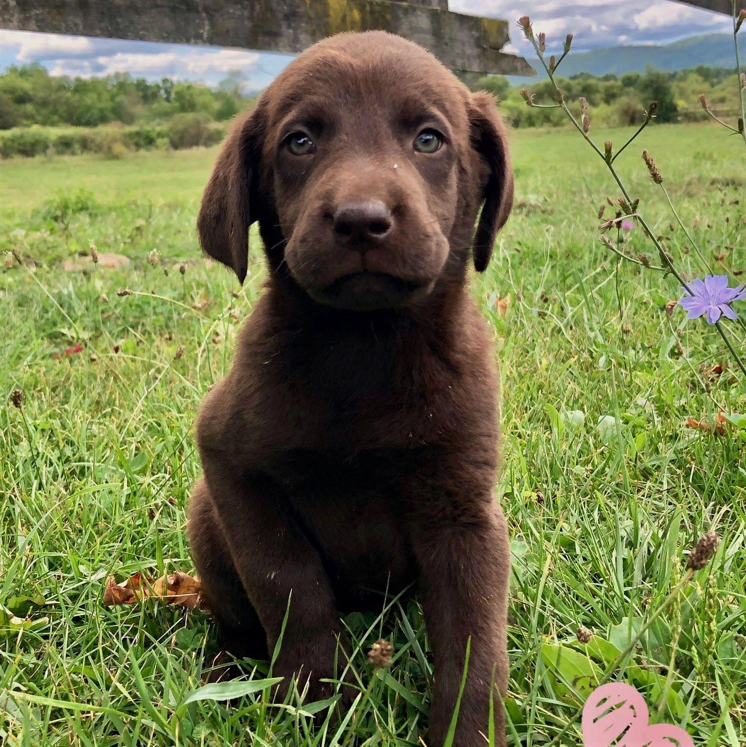 Cuddly labradorretriever labrador puppy dog breeder