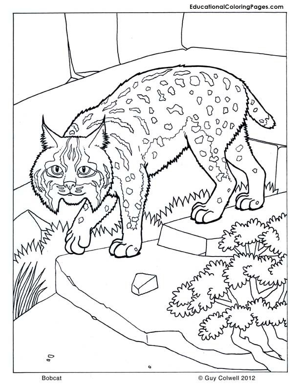 Bobcat Coloring Cat Coloring Pages Cat Printables Zoo Animal