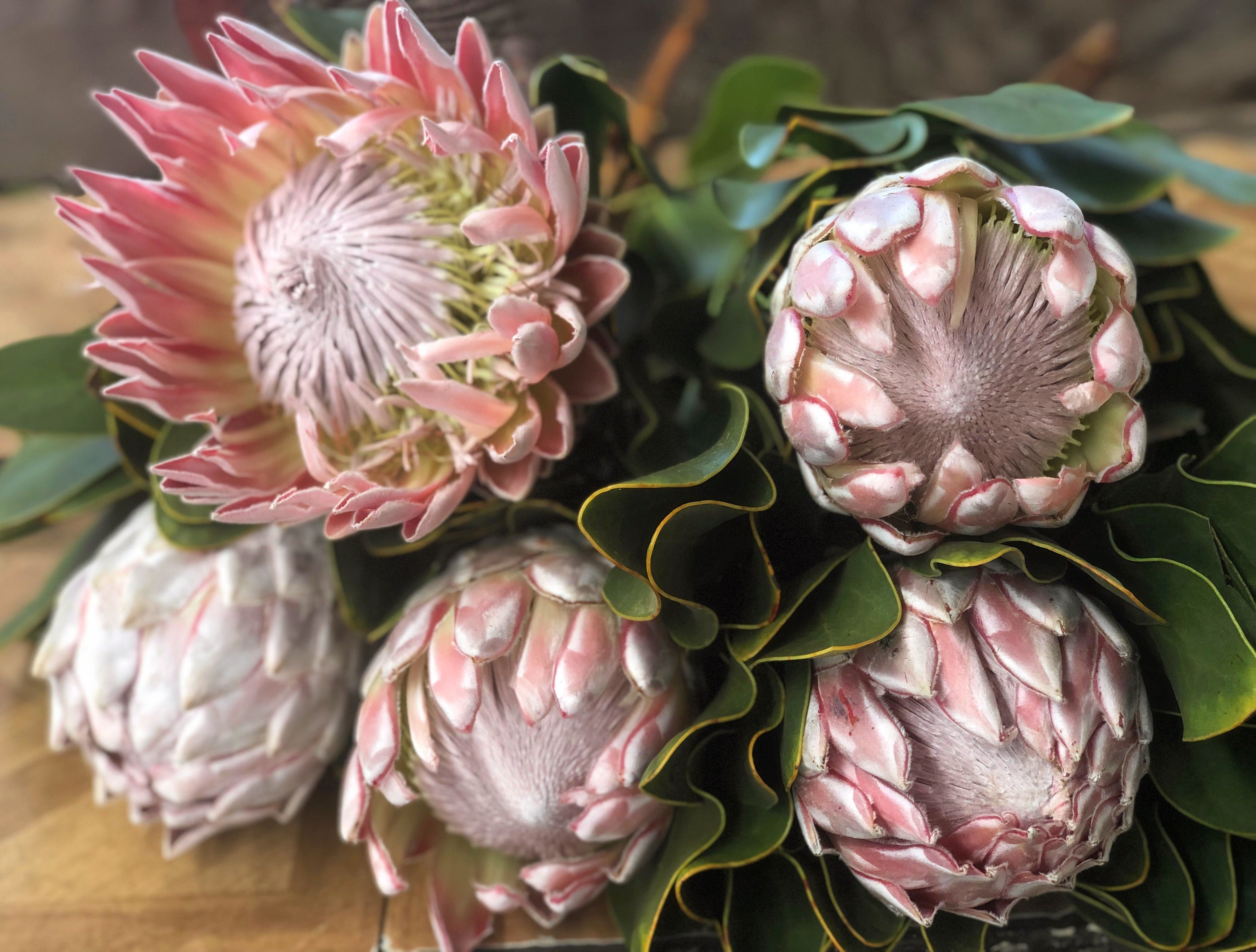 The King Of Proteas South African National Flower Flowers Protea African Image
