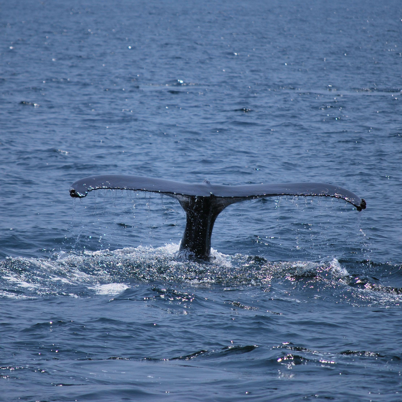 Whale watching, Cape Cod, Massachusetts