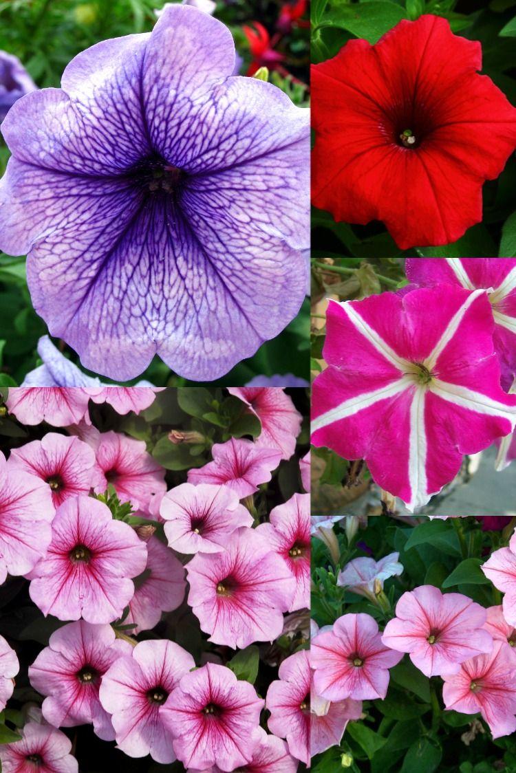 Petunia Annual Flower In 2020 Annual Flowers Petunias Flowers