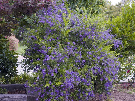 Skyflower Duranta Erecta Outdoor Plants Plants Flowers