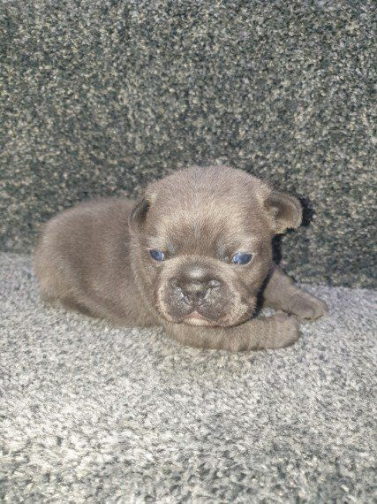 Kc Reg French Bulldog Puppies Warrington Cheshire Pets4homes