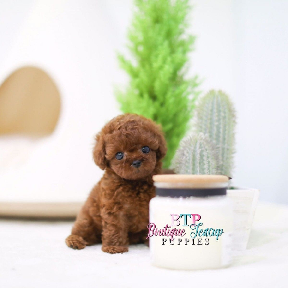 Poodle Puppies For Sale In 2020 Poodle Puppies For Sale Teacup Puppies Poodle Puppy