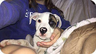Knoxville Tn Boxer Bulldog Mix Meet Felix A Puppy For