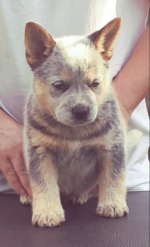Cattle Dog Puppy For Sale Heeler Puppies Cattle Dog Puppy