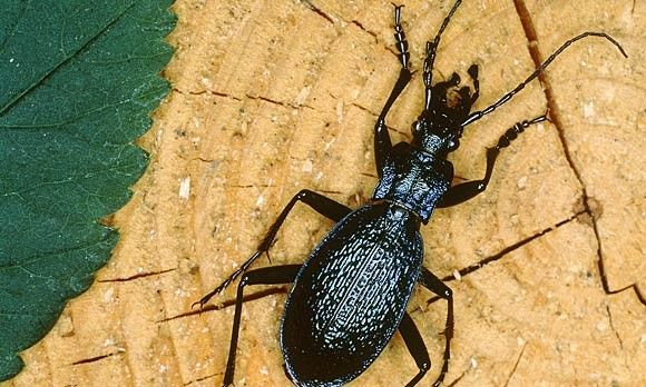 ground beetle are generally black or brown with long skinny legs they are nocturnal and hide. Black Bedroom Furniture Sets. Home Design Ideas