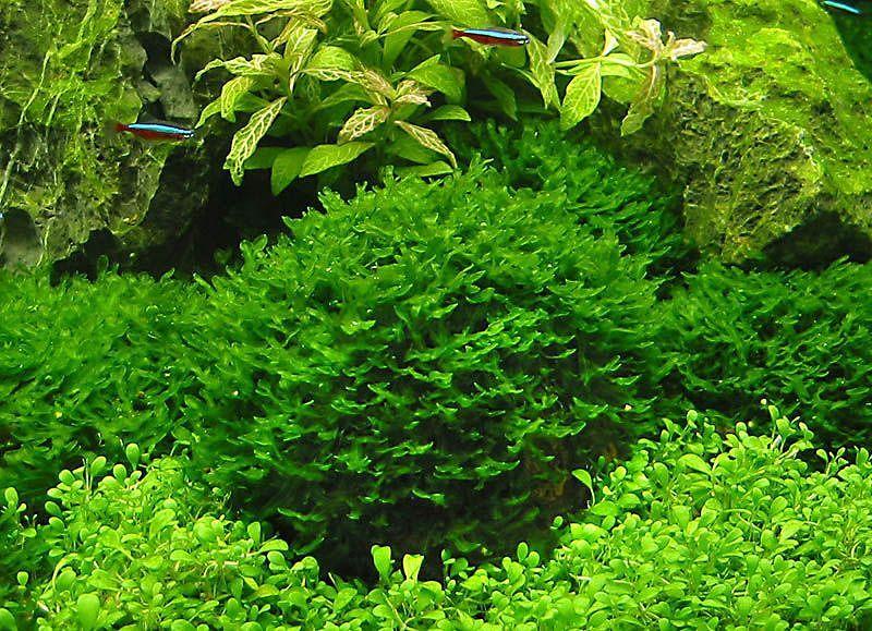 1000 Pcs Aquarium Plant Seeds,Moss Fern Aquarium Plant Fish Tank Aquatic Seeds..