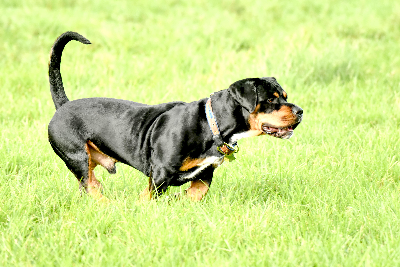 Rottie Basset Hound Bassetweiler Bassetweiler Dog Breeds Rottie Basset Hound