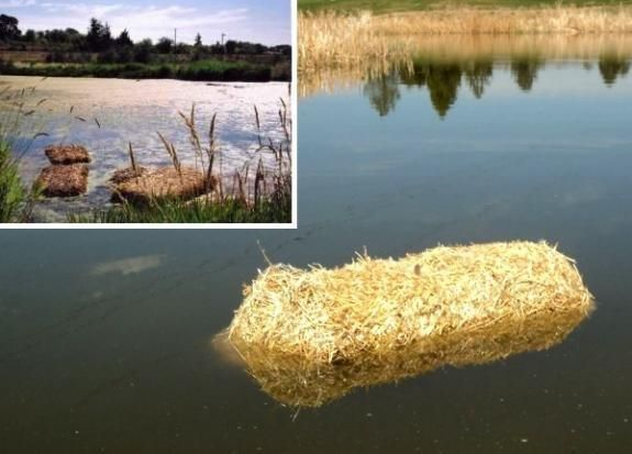 Use Baled Barley Straw To Control Pond Algae 35 00 Each Pond Algae Pond Small Ponds