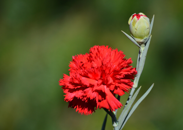 Flower Of Spain Red Carnation Carnations Growing Carnations