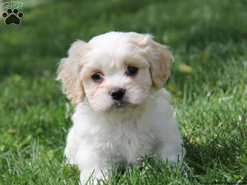 Carter Cavachon Puppy For Sale From Gordonville Pa Cavachon Puppies Puppies Cavachon