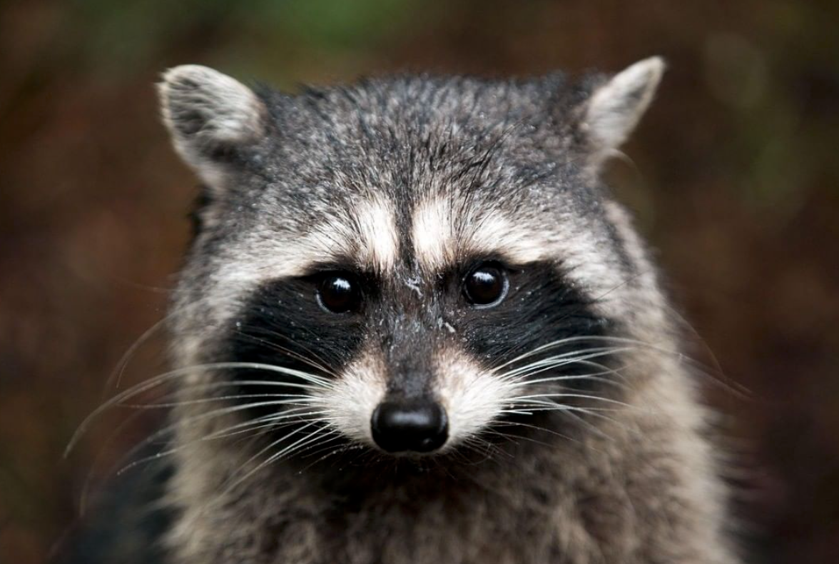 When Animals Move In Their Waste Should Be Moved Out Raccoons And Opossums Will Make Your Attic Or Crawlspace Their Own Per Animals Raccoon Forest Creatures