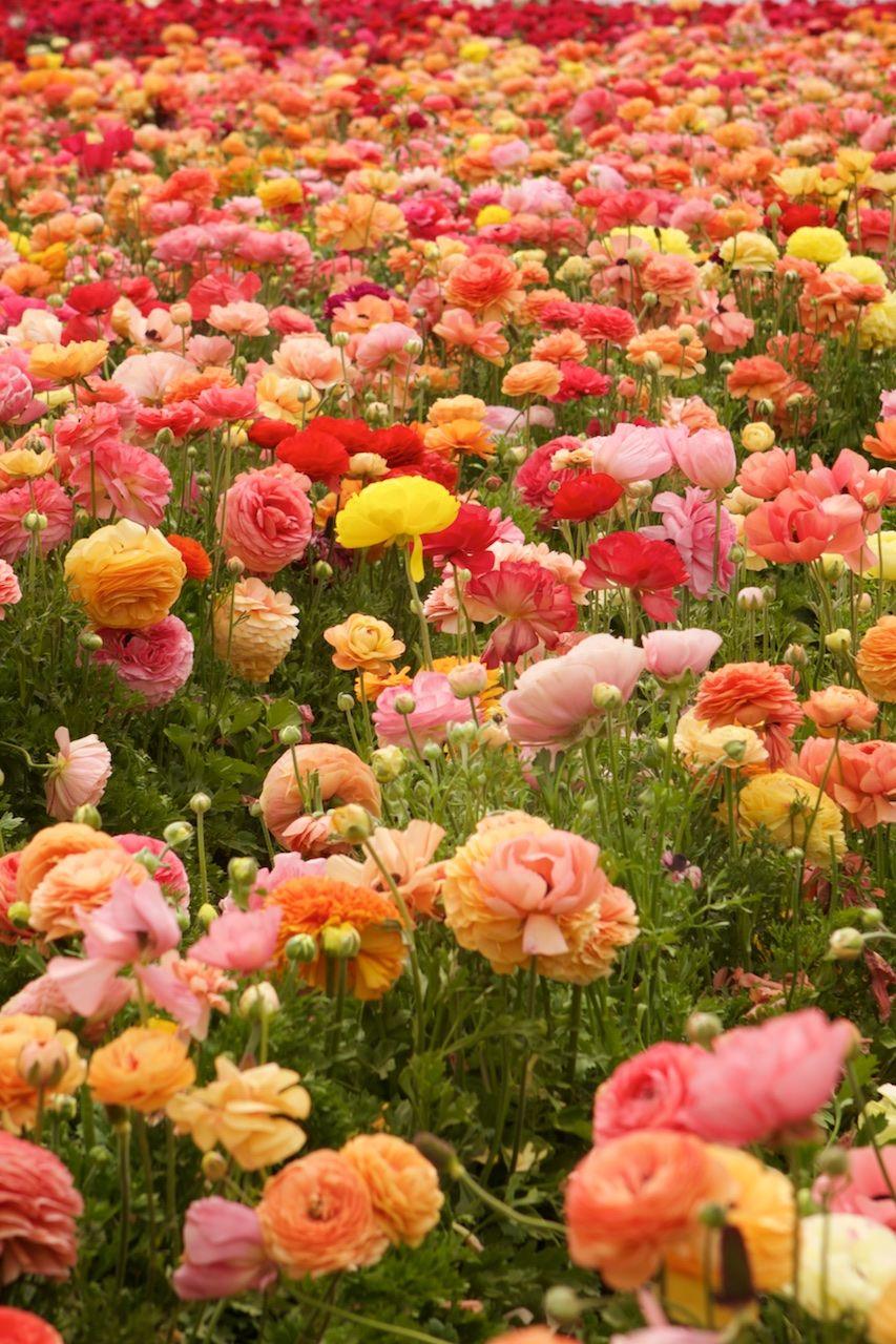 Ranunculus, Carlsbad Flower Fields, Carlsbad, California