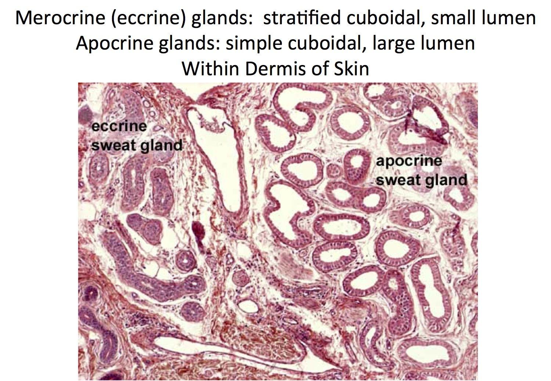 Skin Merocrine And Apocrine Sweat Glands Histology Histology
