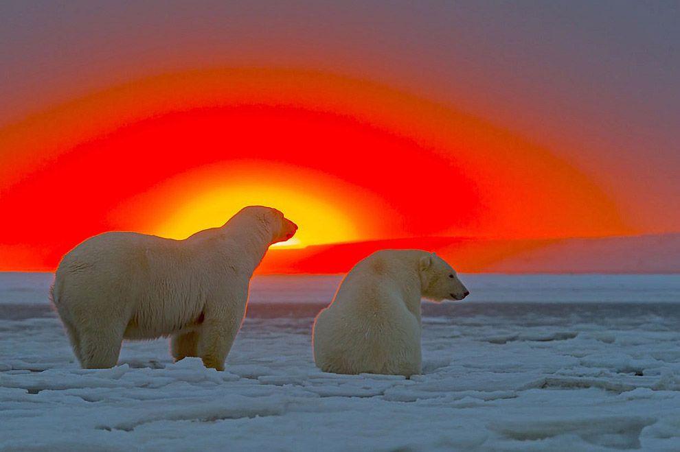 Белые медведи и великолепный закат на Аляске