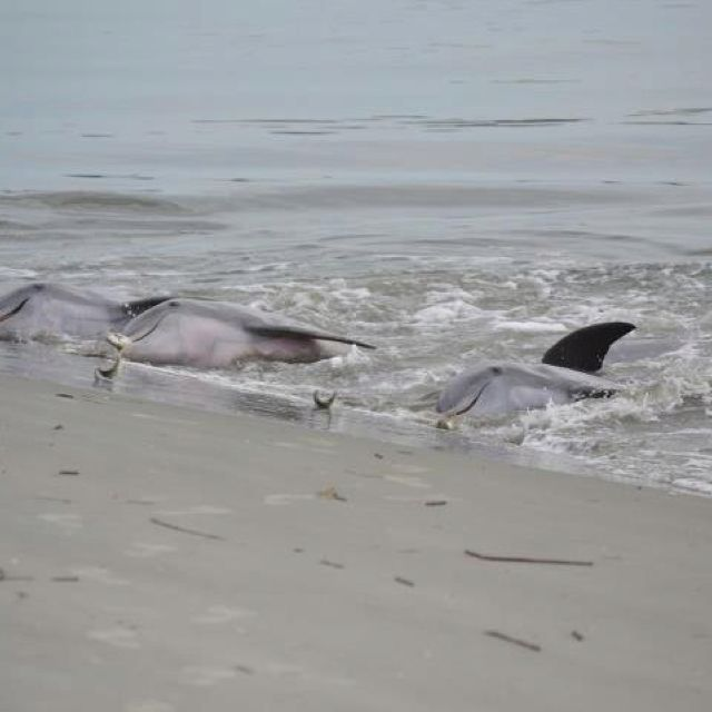 I Could Not Get Enough Of Dolphin Watching Here Feeding At Seabrook Island Sc